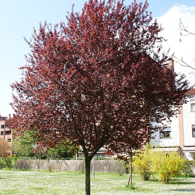 vegetation shaping and study prunus cerasifera nigra. Black Bedroom Furniture Sets. Home Design Ideas