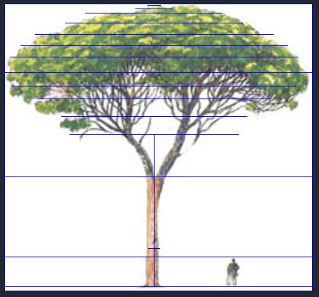 Pinus pinea pino domestico for Disegno di piano domestico