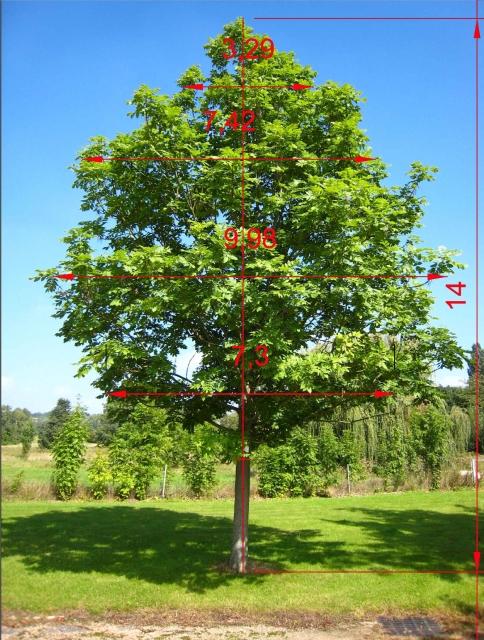 Progettazione parametrica frassino for Chioma albero